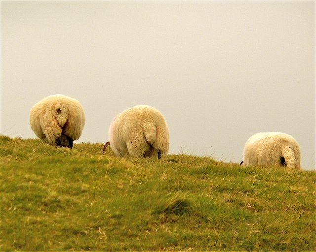 Schafe in Nordirland
