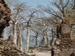 Mehrere dicke Bäume mit weißem Stamm und Ästen, die wie Wurzeln in die Luft ragen