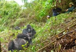In steilem Gelände mit Bambus sitzen einige Touristen und beobachten zwei Berggorillas