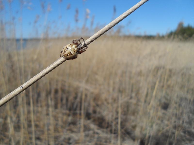 Natur in Estland: eine Spinne auf einem Schilfrohr