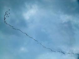 Hunderte Vögel fliegen in einer Reihe am Himmel