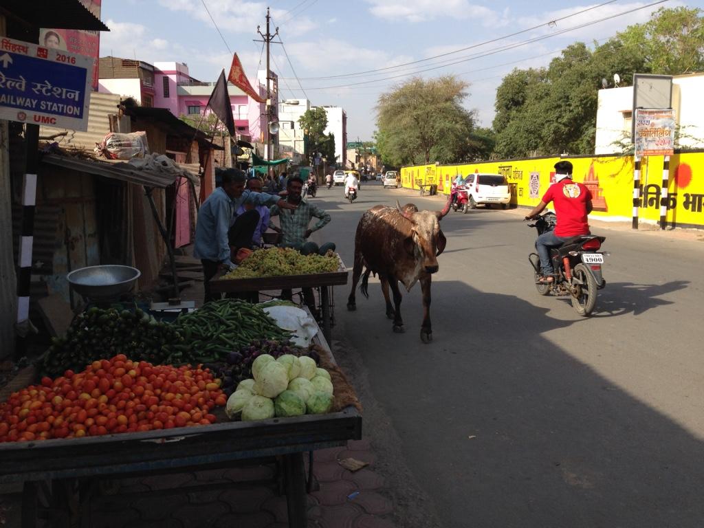 Überall in Indien laufen Kühe auf der Strasse rum