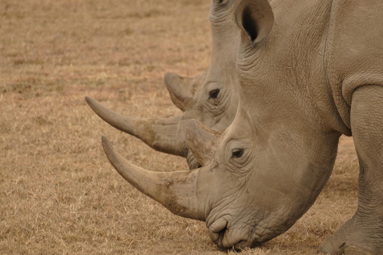 Spitzmaul-Nashörner in Kenia - Foto: Susanna Hagen, respontour
